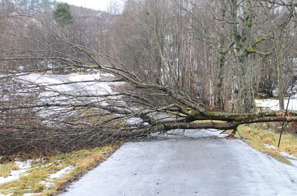 Gangveien opp til Midtigrenda i Møre og Romsdal var sperret etter at dette treet ikke tålte stormen.  (Foto: Tidens Krav/ANB)