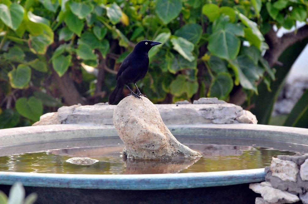 Den lokale varianten av kråka på Barbados.  (Foto: Terje Alstad, ANB)