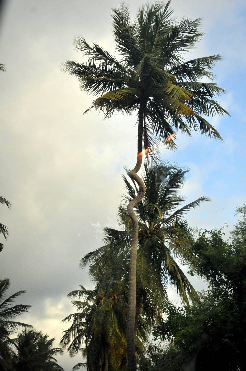 Denne unike palmen finnes det bare én av i verden i følge de lokale. Det er uvisst hvordan treet har tatt form.  (Foto: Terje Alstad, ANB)