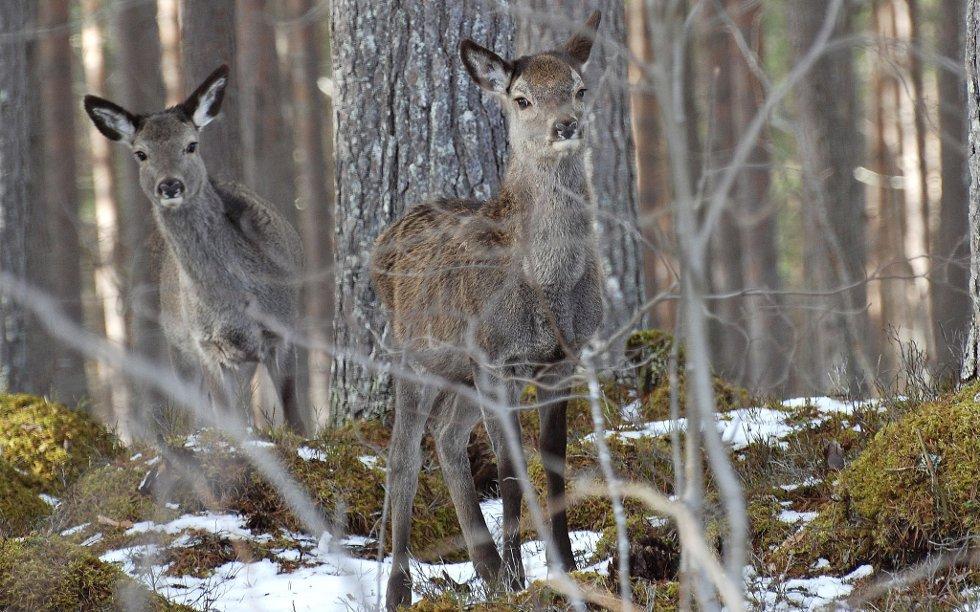 FOR SMÅ VALD: Mange vald er for små til å driva god forvaltning av hjortestammen, meiner Norsk hjortesenter.