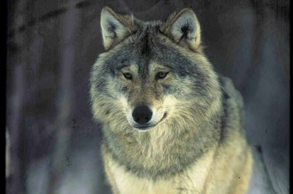 SKUMMEL: Ulven i Skandinavia dreper flere elg enn i USA.