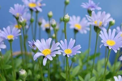Felicia er vakker med himmelblå blomster som egner seg god i krukker.