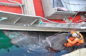 SKJÆRER: Harald Nordhaug står på brugda mens han skjærer finnene .