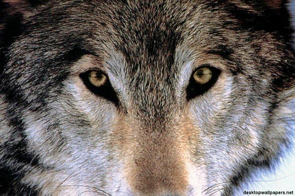 Bondeorganisasjoner i Agder og Stor-Elvdal fikk avslag på søknad om ulvefelling av Direktoratet for naturforvaltning.