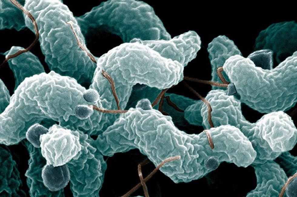 Campylobakterien fins overalt, og den er antall smittede øker. Navnet betyr «forskrudd bakterie»