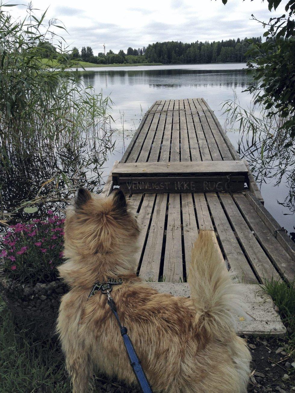 Billy på tur: Billy nyter en morgenstund ved Nordbytjernet. Foto: Karl Wethal. (Foto: )