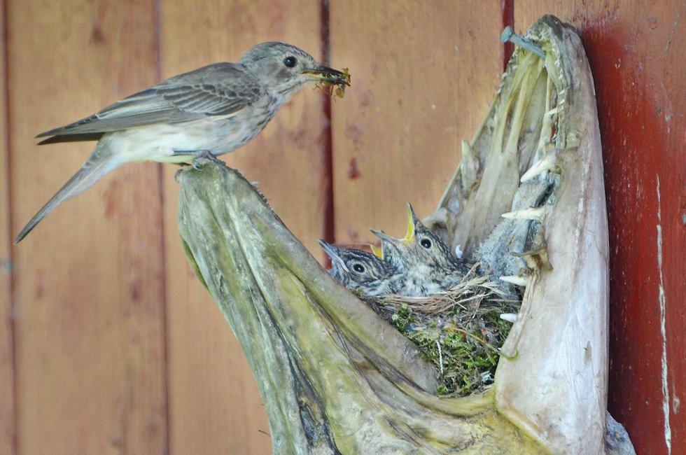 Den grå fluesnappermammaen kommer med fluesnappersnadder til de tre ungene i gjeddereiret.