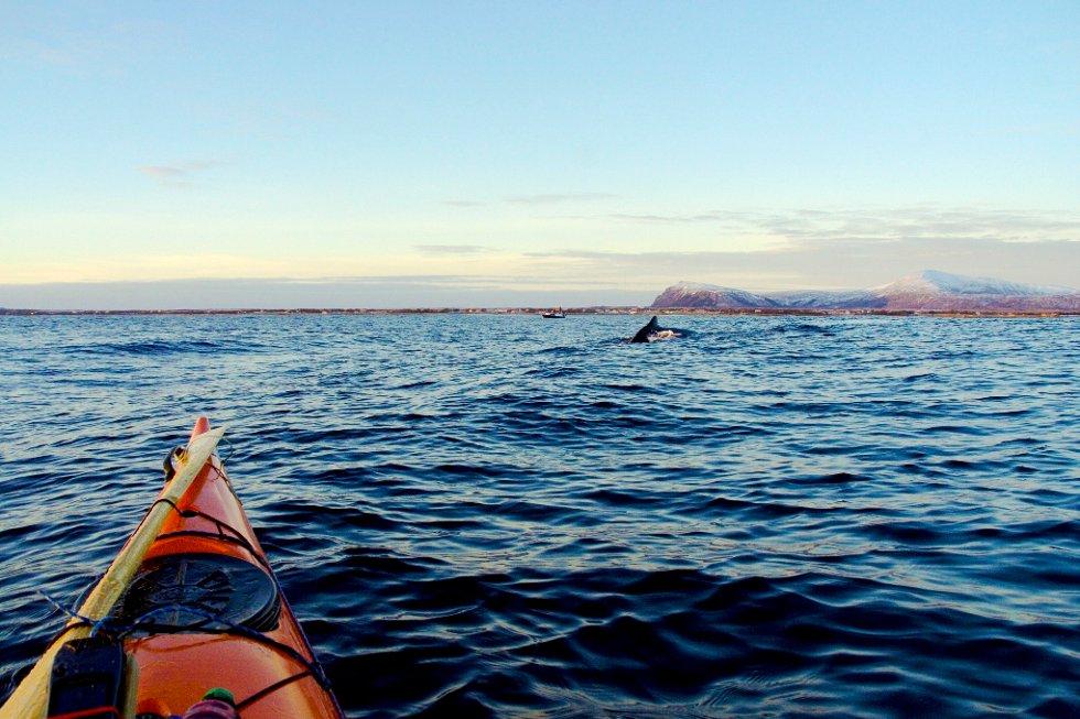 Det var ganske stille på fjorden utenfor Andenes søndag, og fine forhold for kvalsafari fra kajakk. (Foto: Remi Nyheim)