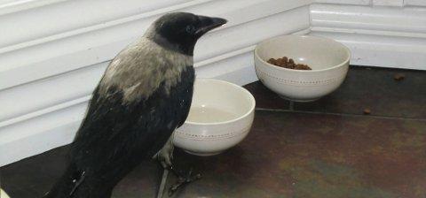SULTEN: Janne ble godt tatt hånd om. Matskålen til kråka var alltid full. (Foto: Privat)