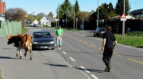 - Dette er jo en skolevei, så det kunne jo kommet både barn og ungdom som kunne skremt opp kua, sier kufangeren Geir Jørgensen.