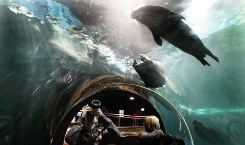 I museet og akvariet Polaria kan man studere seler fra undersiden.