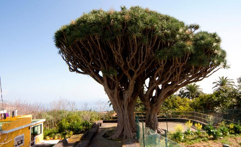 Disse mektige trærne kalles «drago» på spansk og kan bli 12-15 meter høye.