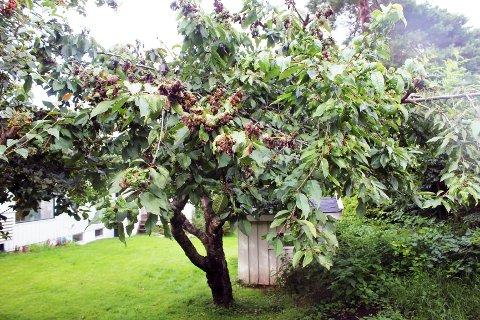 Lus i morelltrær er vanskelig å forhindre, men hvis det er et lite angrep, kan du sprøyte treet med grønnsåpevann.