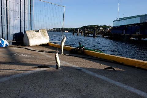 Makrellen biter helt innerst i havnebassenget. Men deler av kaiområdet i Sandefjord havn er avstengt som følge av såkalte ISPS-regler mot internasjonal terror.