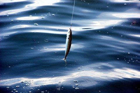 Makrellen biter helt innerst i havnebassenget for tiden.