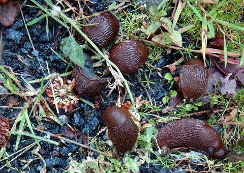 snegledød: Sneglene har fått i seg parasitt, og skal nå lokke til seg sine friske kannibalistiske artsfrender som dermed bli infisert og dør.