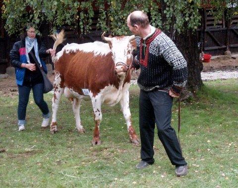 FESJÅ: Noen ganger setter kua seg rett og slett på bakbeina.