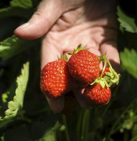 TIL OVERS: Tonnevis av bær brukes ikke fordi de ikke tilfredsstiller millimeterkravet.