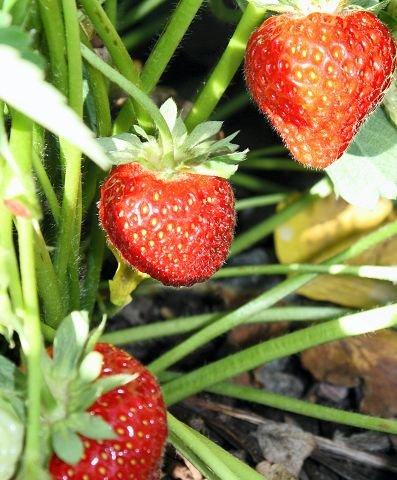 MODEN: Jordbæra på Hole Gård er klar til å plukkes.
