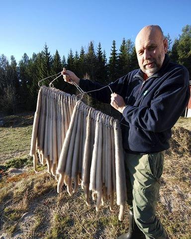 KLARE FOR HENTING:  Olav Løyte viser fram pelsen som sendes til Oslo for klargjøring før salg.
