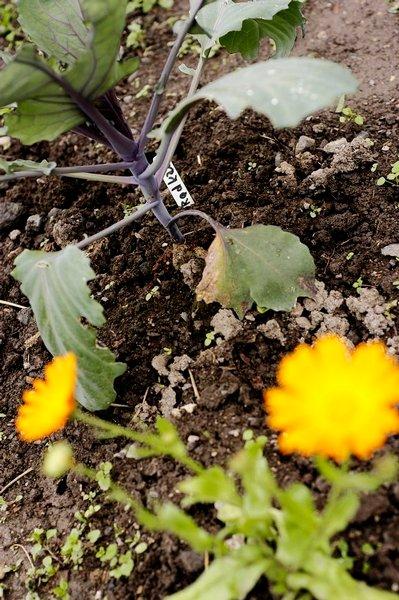 BESKYTTELSE: Gressklipp rundt plantene hindrer ugress, holder på fuktigheten og gir næring.
