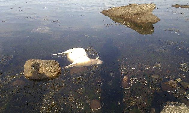 De døde sauene ble funnet i vannet