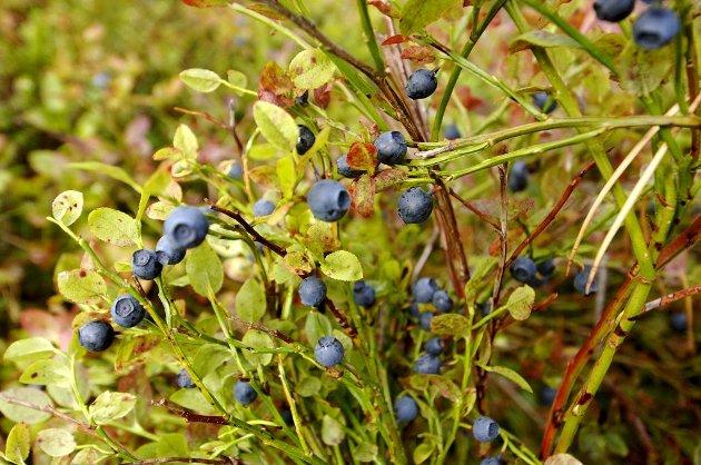 Buskene blomstret for tidlig, og satte en stopper for de små blå.