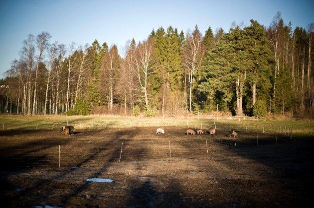 Gårdsansvarlig Erik Brinkhof er svært opptatt av at grisene på Ramme Gaard skal ha det bra, fra fødselen til de blir slaktet.