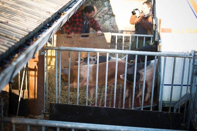 Så er hengeren på plass. Mannskapet tar syv og syv griser av gangen. Motvillig blir de lempet inn på hengeren, og deretter blir de kjørt cirka 100 meter opp til hovedgården på Ramme.