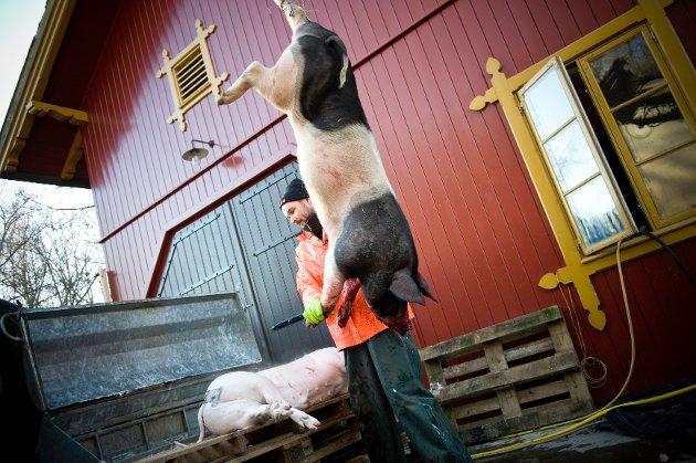 Etter slaktingen blir grisen fraktet opp i skoldekaret.