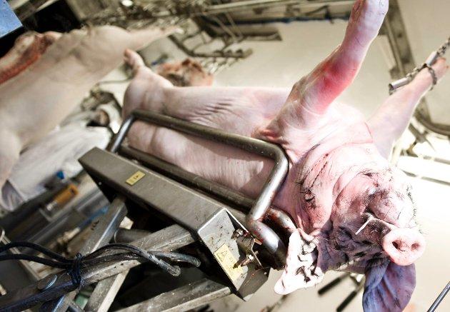 Slik endte den lykkelige grisen sine dager på Ramme Gaard i Hvitsten.