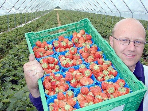 Jordbærbonde Simen Andreas Myhrene er fornøyd med årets avling så langt. Sesongen er allerede i gang, og noen av de første jordbærene kommer fra Sylling, der Corona-jordbærene dyrkes blant annet inne i plasttunneler. ARKIVFOTO