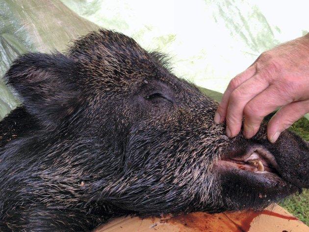 FIKK DAMER OG MAT: Villsvinet som besøkte gården til Hans Jørgen Sæteråsen i Sørskogbygda fredag kveld fikk både mat og «kvinnfolk», etter at han hoppet inn til de to purkene på gården. – Han koste seg nok, så lenge det varte, sier Sæteråsen etter å ha skutt svinet.