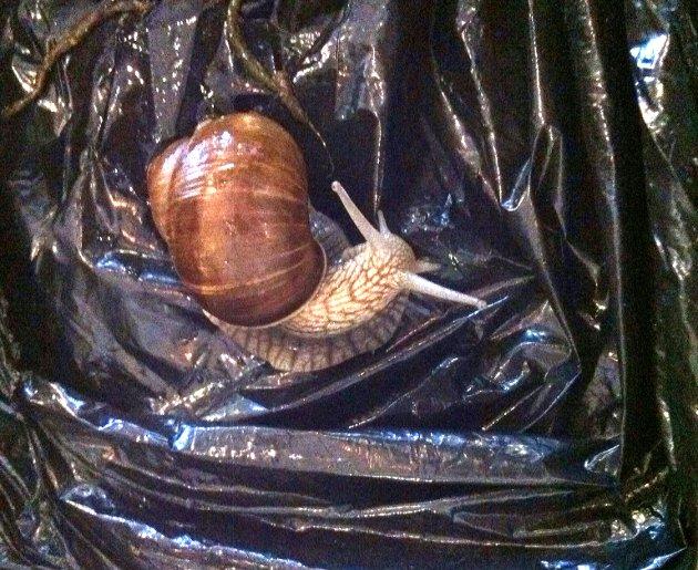 Den flotte sneglen var cirka 5 centimeter lang og bærte et gyllenbrunt hus på ryggen.