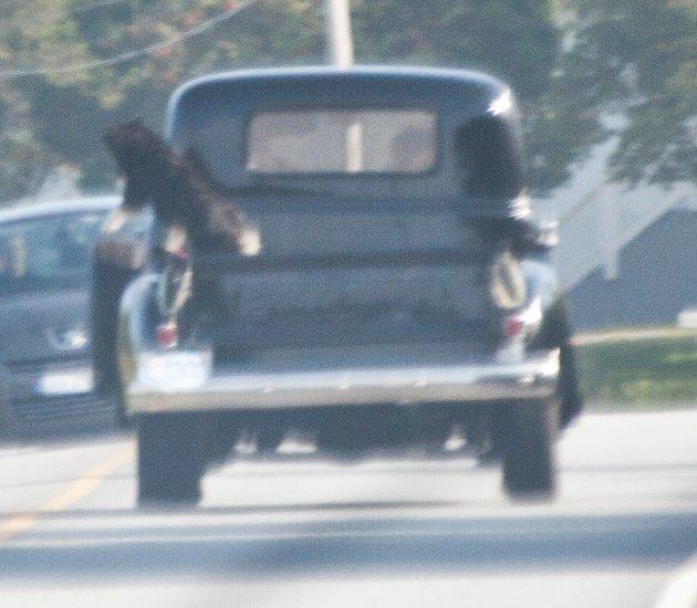 """På vei til Skudeneshavn oppdaget sjåføreren bak denne bilen at hunden som sitter på lasteplanet """"henger"""" ut på siden av bilen. Hva skjer om hunden hopper av og blir hengenes etter båndet, undrer han."""