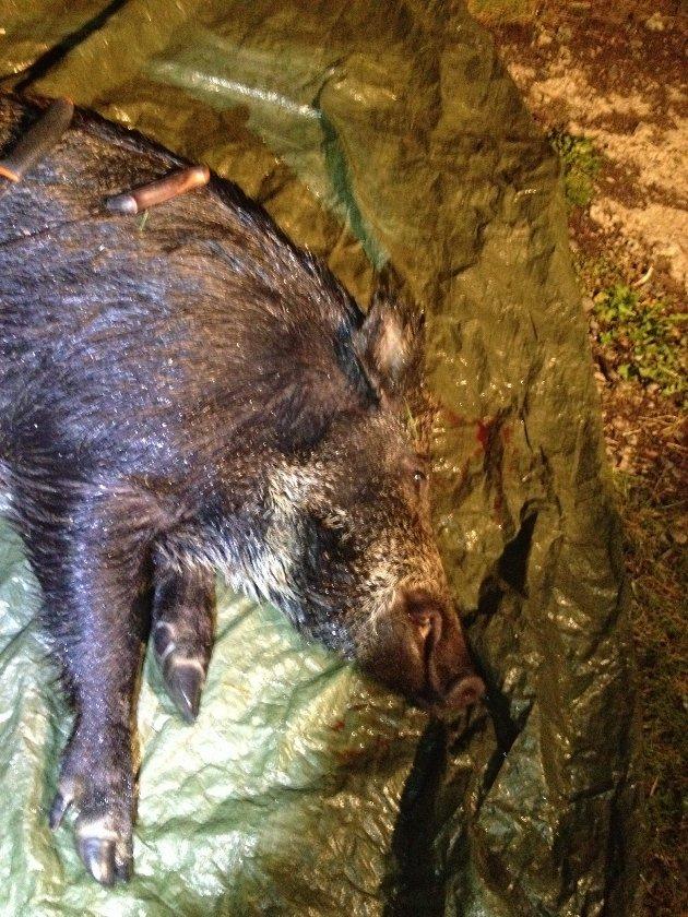 RUNDT HUNDRE: Sæteråsen beskriver villsvinet som et voksent dyr på rundt 100 kilo.