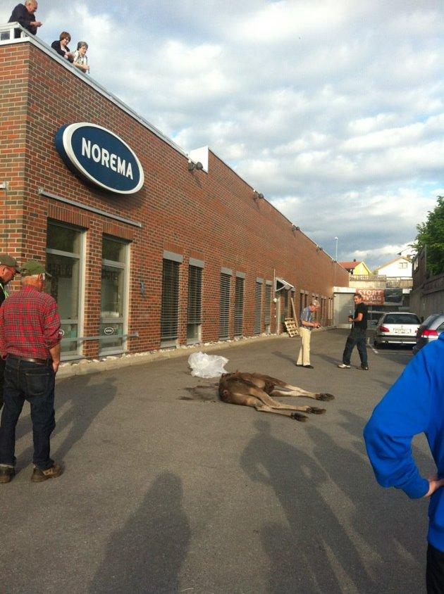 Denne elgen døde momentant av fallet fra taket på Vika-senteret i Ottestad i Stange.