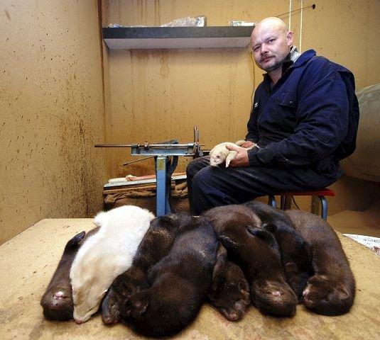 PELSING: Jørgen Løyte har travle dager med pelsing av 4.000 mink.