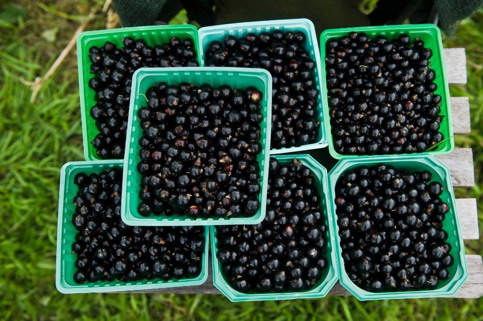 Det bugner av blåsvarte C-vitaminbomber. Solbærenes helsebringende effekt er en av grunnene til at stadig flere etterspør ferske bær.