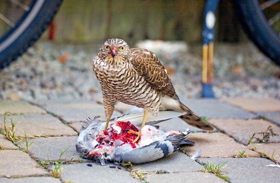 Den følger med, men stopper aldri å spise, og ser vaktsom, men aldri redd ut. Tilslutt står fotografen på huk en meter fra den.