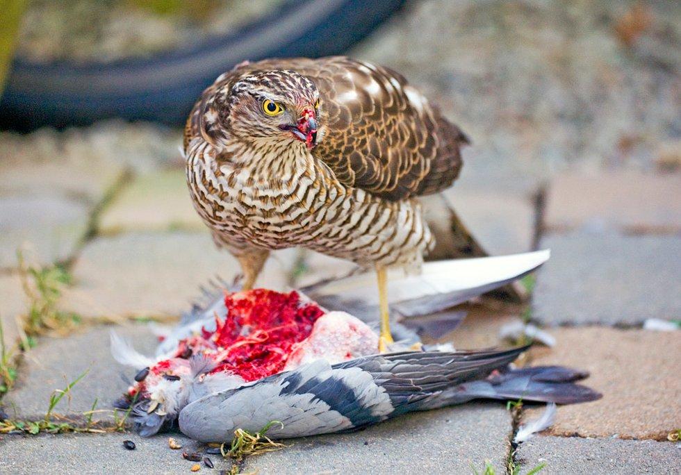 – En bevegelse, halvt skjult av en blomsterpotte. Og der står den! En praktfull hauk, midt i et festmåltid der due står på menyen.  (Foto: Trine Sirnes)
