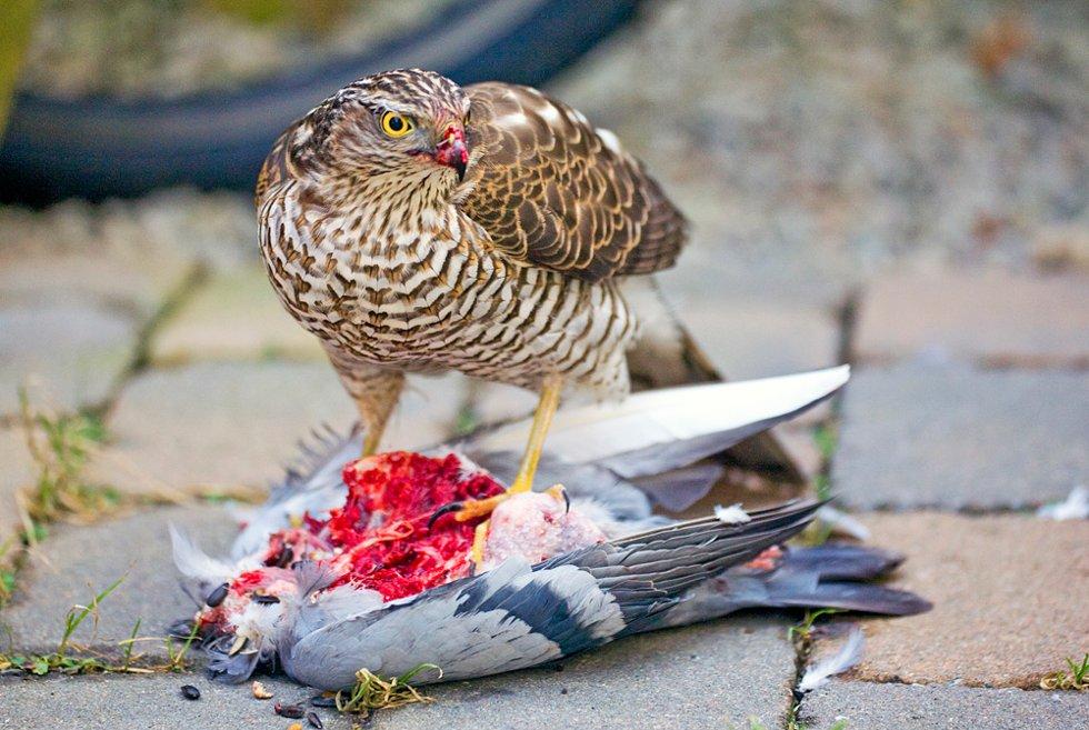Den følger med, men stopper aldri å spise, og ser vaktsom, men aldri redd ut.  (Foto: Trine Sirnes)