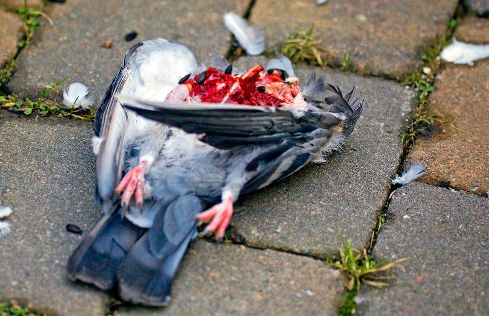 Den ble antagelig drept i det den nøt fuglefrø fra en velgjører i nabolaget, for midt i alt det råe kjøttet ligger det frø fra duens hals overalt. (Foto: Trine Sirnes)
