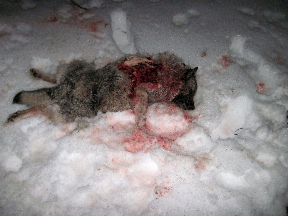 KADAVER: Rosendal fant hunden sin ihjelrevet da han mandag morgen dro ut for å lete etter den.