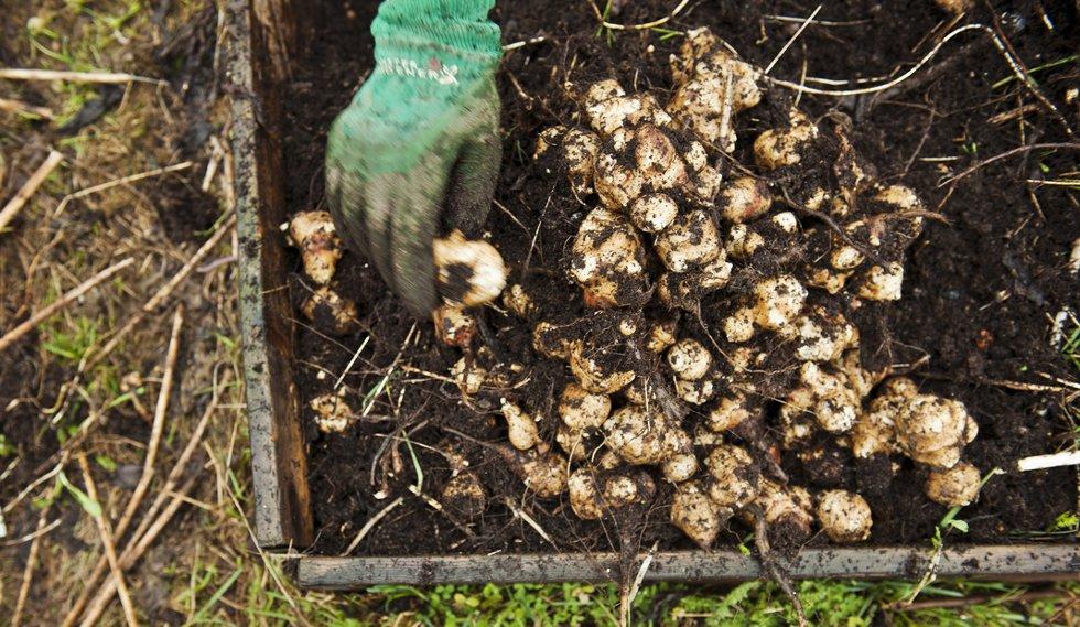 God jord og god drenering, samt flere lag med fiberduker som ugresshinder under pallekarmen, bidrar til god avkastning.