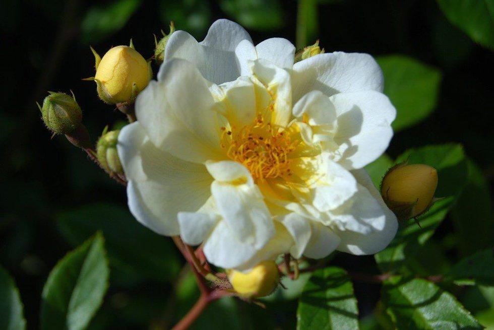 Honningrosen «Rosa helenea hybridia» er en kraftig klatrerose, som kan slynge seg opp en tre eller en plantesøyle.     FOTO: HANNE DØLHEIM