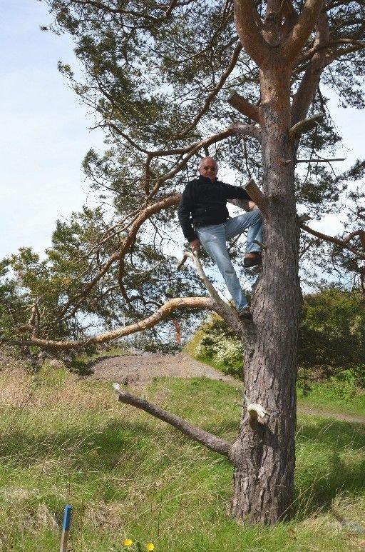 Her skal naturelsker Terje Bratt sitte når kommunen kommer for å sage ned furuen ved Skaustranda. Gravemaskinen nærmer seg i bakgrunnen.