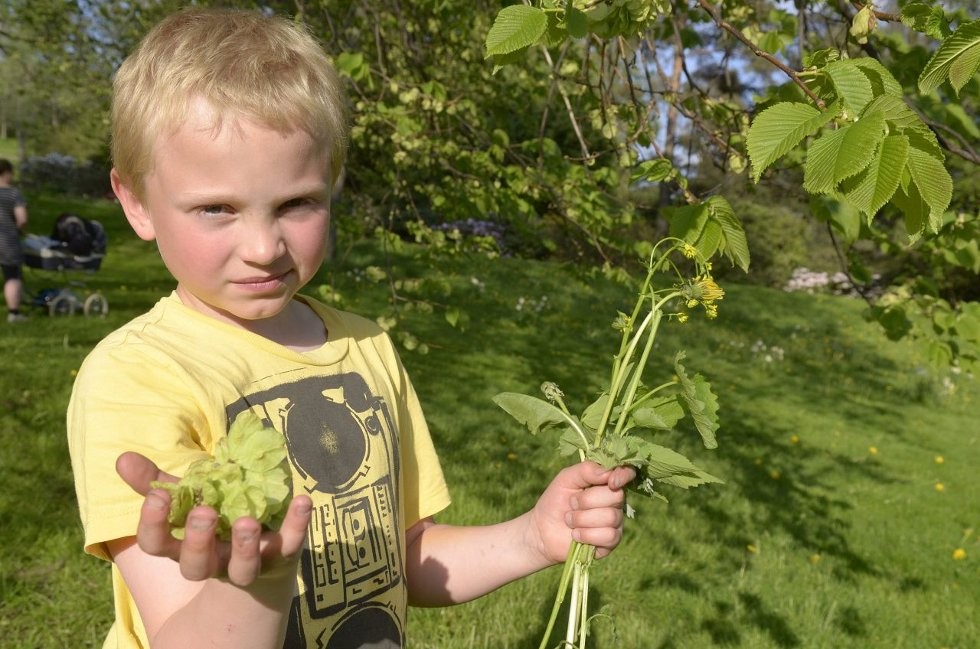 ALMEGODT: Fredrik Engelhardt Nordby (8) fra Nordby har plukket både løkurt, løvetann og friske, grønne almeblad.