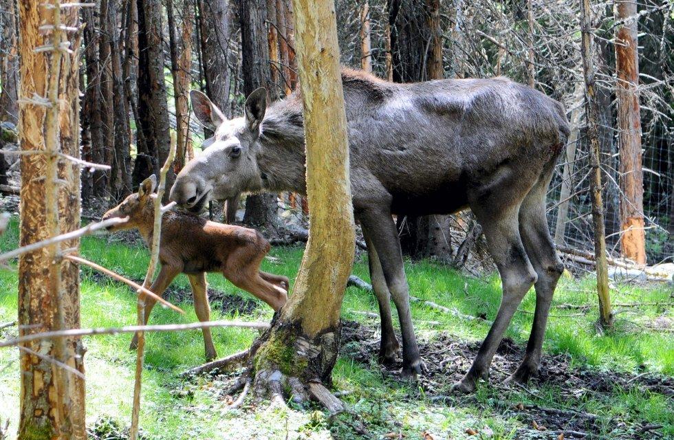 USIKKER FRAMTID: Elgkua Norma med en av sine nyfødte kalver. Deres skjebne skal også avgjøres.