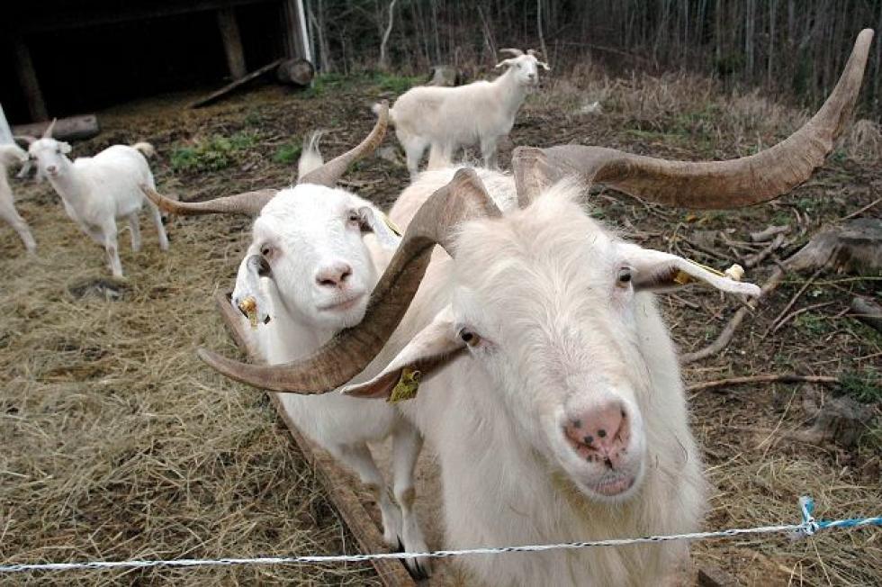 De fire savnede kashmirgeitene er ikke del av en større besetning, og stammer opprinnelig fra Hyggen i nabokommunen Røyken. Familien på fire består av to voksne og to kje.